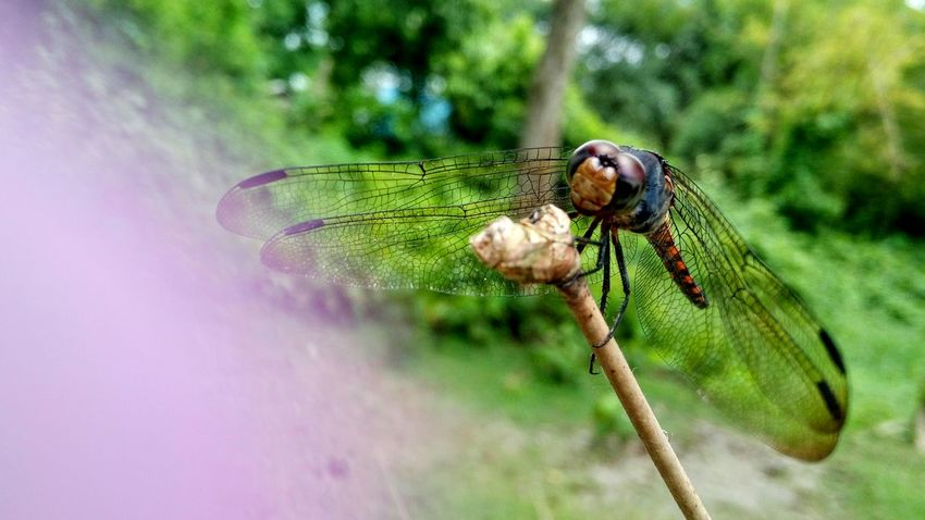 The dragonfly Insect Damselfly Focus On Foreground No People Nature Day Outdoors Beauty In Nature One Animal Animal Themes Animals In The Wild Animal Wildlife Close-up
