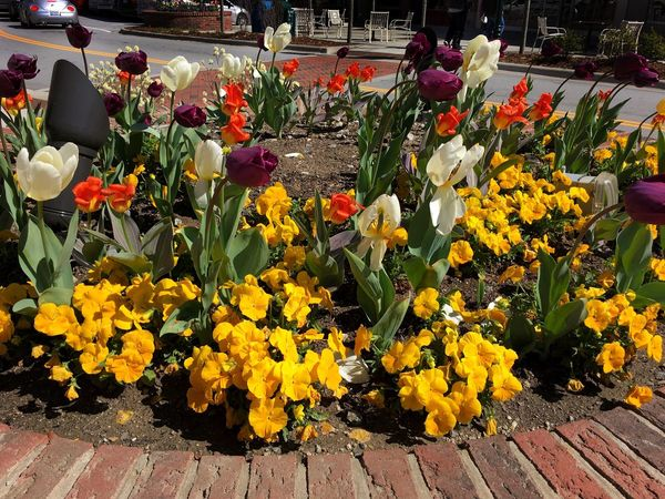 April 2nd in Hendersonville NC. The downtown area always has flowers blooming and are changed frequently Flowers Hendersonville,NC