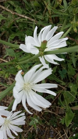 White Chickory Flower. Rare White Flower Check This Out Tranquility Hill Farm Clifton Springs Ny Unusual