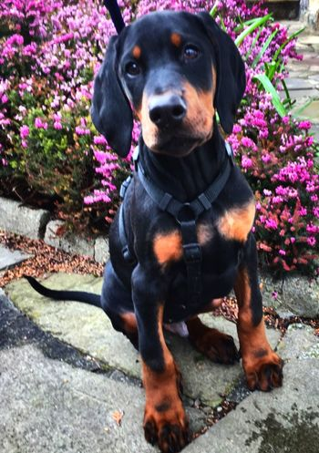 Doberman puppy 75days old🐾 Tadaa Tadaacomunity Tadaabestshot Tadda Community Tadaa Community Animals Dog Dogs Dog Love Dog❤ Doberman  Dobermann Dobermanpinscher Belgium Puppy Puppy Love Puppies Puppy❤ PuppyLove Puppy Eyes Puppy Face Puppies!