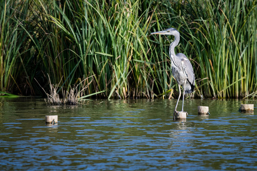 Grey heron perched on a wooden post Animal Themes Animal Wildlife Animals In The Wild Beauty In Nature Bird Day Grass Gray Heron Gray Heron On The River Shore Grey Heron  Grey Heron On The River Shore Ibis Lake Nature No People One Animal Outdoors Reflection Stork Water