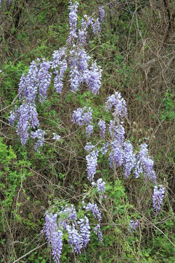 Spring 2018 Wildflowers and Blooms Beauty In Nature Blooming Close-up Day Field Flower Flower Head Fragility Freshness Grass Growth Nature No People Outdoors Plant Purple Tranquility Wisteria Flowers