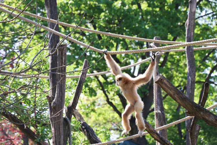 Gibbon monkey in zoo Tree Animal Animal Themes Mammal Animal Wildlife Primate Animals In The Wild Monkey Plant Forest Vertebrate One Animal Branch Nature Day Focus On Foreground No People Hanging Land Low Angle View Outdoors Gibbon