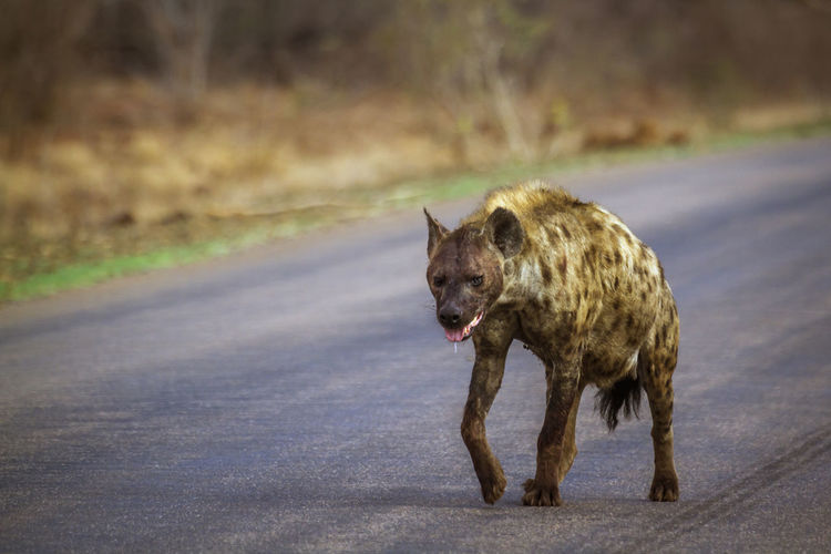 Hyena walking on road