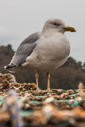 Close-up of seagull perching on lobster trap