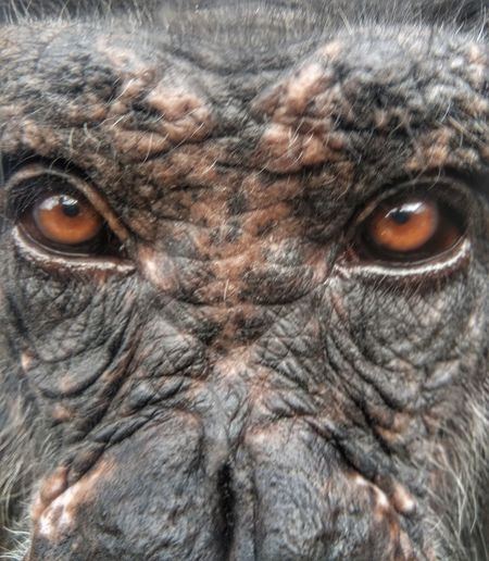 human watching Smartphone Photography Chimpanzee Rescued Monkey Wildlife Save The Nature Bird Owl Bird Of Prey Portrait Eyelash Looking At Camera Iris - Eye Eyesight Full Frame Animal Markings Yellow Eyes Extreme Close-up