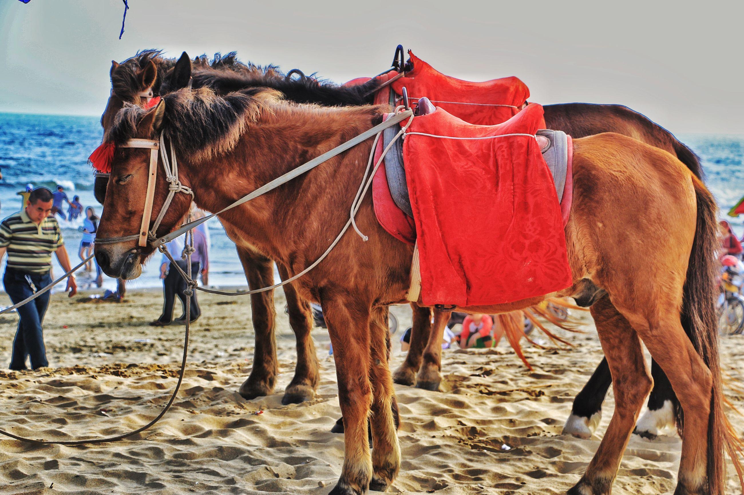 animal themes, domestic animals, horse, working animal, mammal, beach, sand, livestock, sea, one animal, camel, standing, men, full length, lifestyles, sky, leisure activity, walking, herbivorous