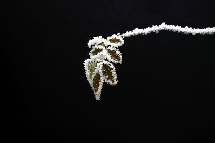 Close-up of frozen leaf against black background