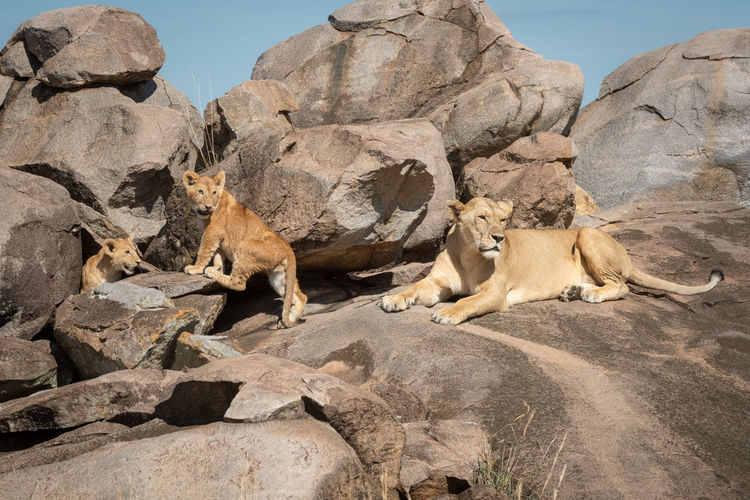Big cat and cubs on rock