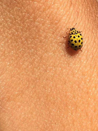Insect ladybug yellow
