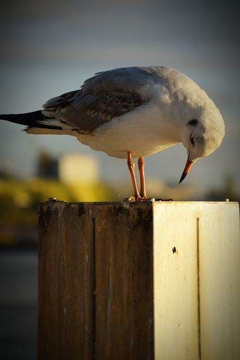 Nature Animal Head  Animal Photography Animal Representation Animal Portrait Beauty In Nature Sunlight Sunshine Outdoors Focus On Foreground River Elbe ♥️ Port Gull Living Organisms One Bird On Focus Animals In The Wild Animal Wildlife Silhouette Bird Water Perching Sea Life Seagull Animal Themes Close-up Sea Bird Beak 2018 In One Photograph