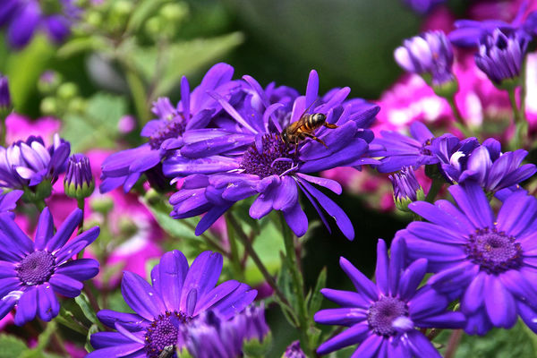 Beauty In Nature Bee Blooming Blossom Blue Botany Bumblebee Close-up Day Flower Flower Head Focus On Foreground Fragility Freshness Growth In Bloom Insect Nature No People Outdoors Petal Plant Pollen Purple Selective Focus