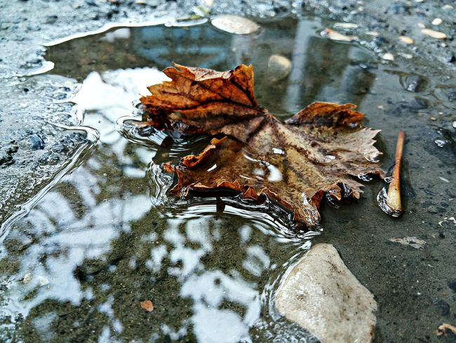 Autumn Cold Temperature Season  Water Standing Water Close-up Leaf After Rain Fallen Leaf After The Rain Floating On Water Nature Botany Beauty In Nature Focus On Foreground Selective Focus LeEco LeTv X600 Letv Mobilephotography
