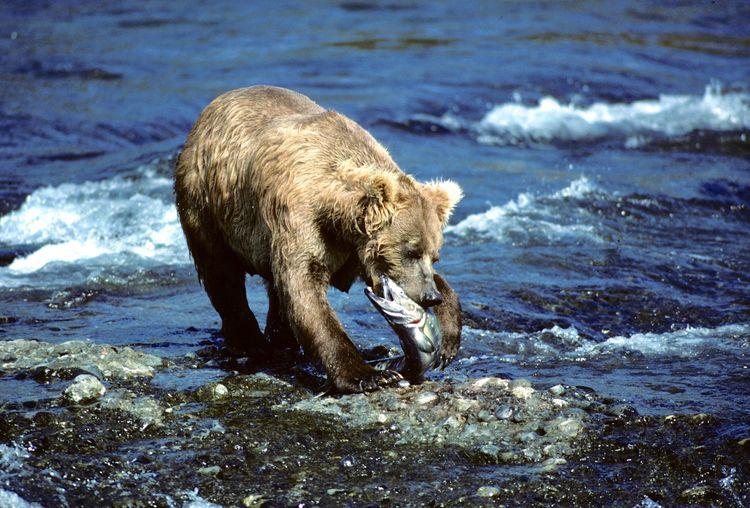 Bear eating fish at beach