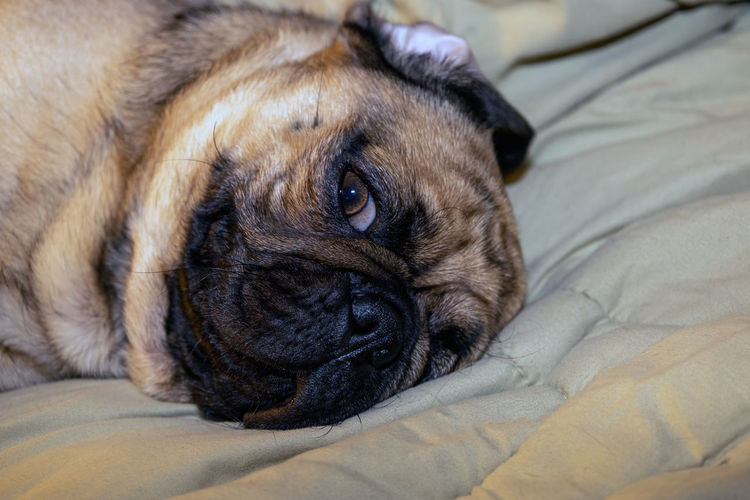 Close-up portrait of dog relaxing on bed