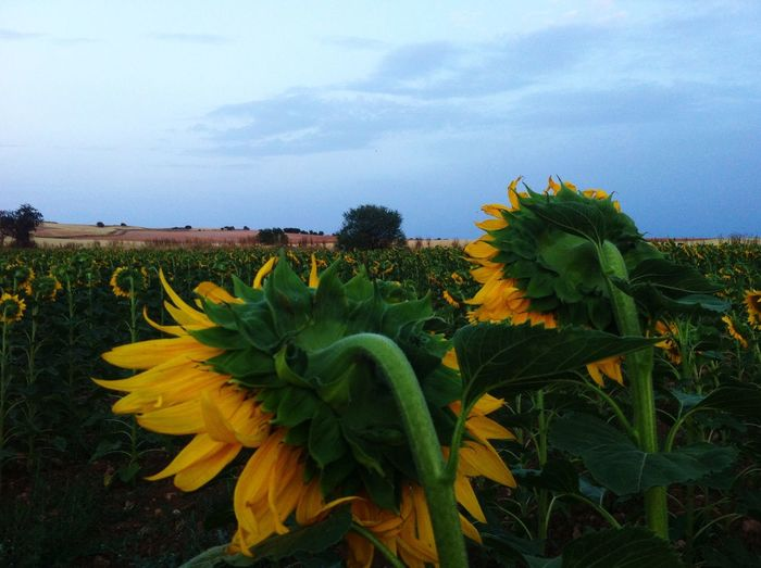 Girasol, sunflower, himawari, ひまわり, cuenca