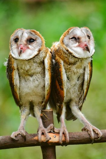 Close-up of owls perching on wood