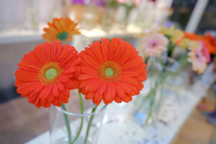 Close-up of red daisy flowers in vase