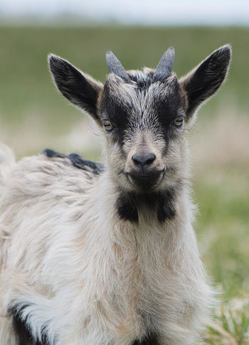 Agriculture Animal Themes Animal Wildlife Animals In The Wild Cattle Cattle Breeding Close-up Day Domestic Animals Farm Focus On Foreground Goat Goats Looking At Camera Mammal Nature No People One Animal Outdoors Portrait Yeanling Young Animal Pet Portraits