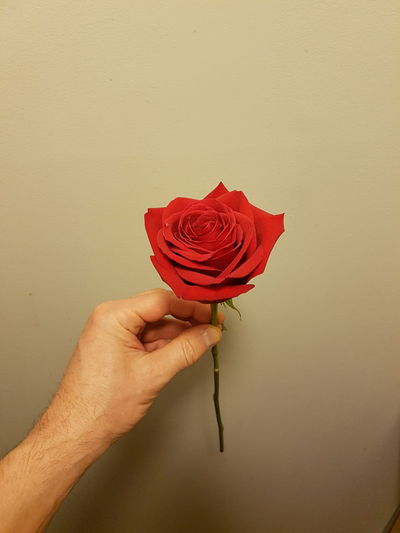 Cropped Hand Of Man Holding Red Rose Against Wall