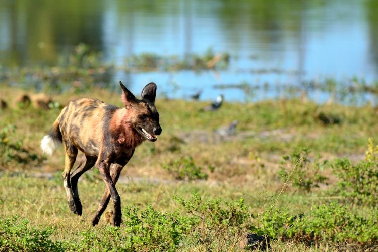 Animal Themes Animals In The Wild Day Domestic Animals Focus On Foreground Grass Mammal Nature No People One Animal Outdoors Painted Dog Pets Water Wild Wild Dog Wild Dogs Wildlife