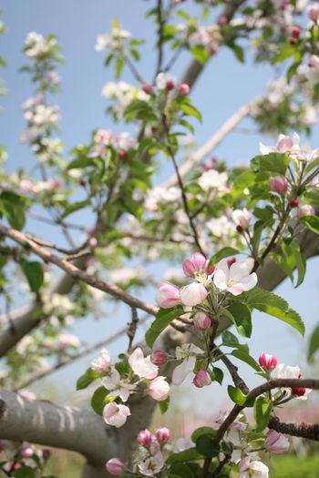 林檎の花 Flower Springtime Spring Apple Apple Blossom Apple Photography Flower Photography Apple Farm Apple Flower Nagano Nagano Prefecture,Japan Nagano, Japan