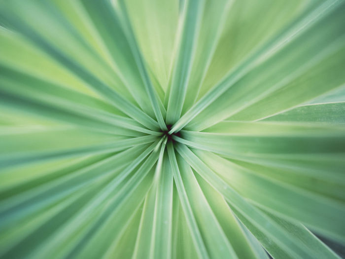 Backgrounds Beauty In Nature Botany Close-up Day Exotic Extreme Close Up Extreme Close-up Focus Fragility Freshness Full Frame Green Color Growth Leaf Leaf Vein Natural Pattern Nature Outdoors Palm Leaf Plant Selective Focus Tranquility Vibrant Color