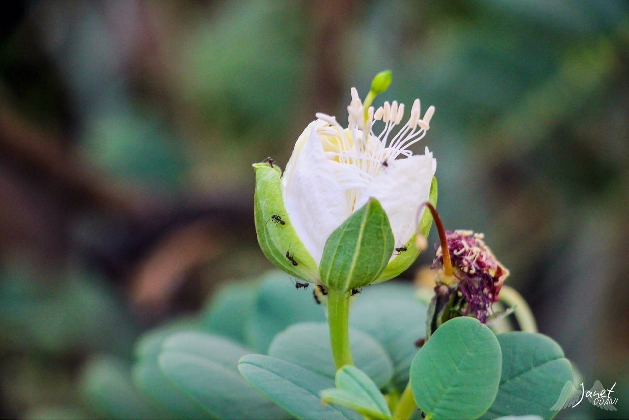 plant, flower, flowering plant, growth, beauty in nature, freshness, focus on foreground, vulnerability, close-up, fragility, leaf, plant part, inflorescence, nature, flower head, petal, day, no people, green color, outdoors, sepal