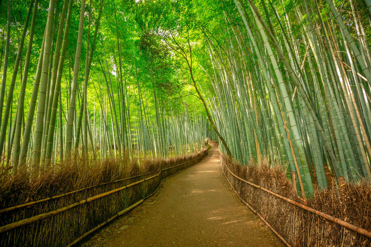 tourist woman jumping in bamboo forest at Sagano in Arashiyama, kyoto, japan. Travel asia concept. Freedom and enjoying concept. Kyoto's popular landmark and touristic destination. Surreal path in bamboo grove at Sagano in Arashiyama, sunlit. The forest is Kyoto's second most popular tourist destination and among the 100 phonetic stations in Japan. Meditative listening concept. Arashiyama Arashiyama Bamboo Grove Arashiyama Bamboo Forest Bamboo Grove Japan Japan Photography Japanese  Japanese Food Japanese Garden Kyoto, Japan Path Tourist Tree Woman Arashiyama Bamboo Groove Arashiyamabambooforest Arashiyamabamboogrove Bamboo Forest Fire Kyoto Kyoto Garden Kyoto,japan
