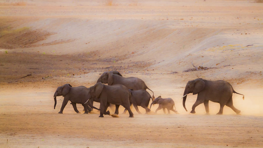 Elephants walking on land