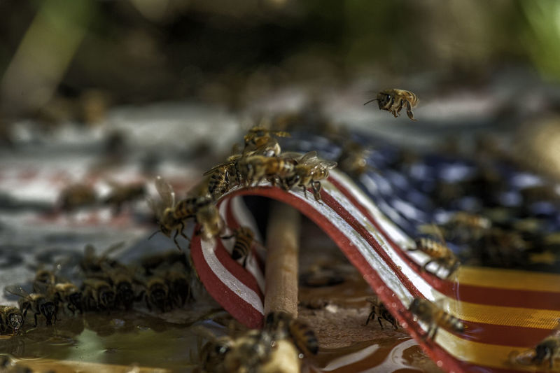 Animal Themes Animal Wildlife Animals In The Wild Bee Bee And American Fa Bees And Honey Bees Flying Bees On American Flag Buzzing Close-up Day Honey On American Flag Insect Nature No People Outdoors