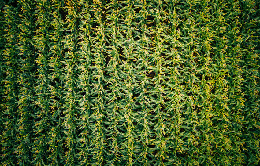 DJI Mavic Pro Field Mais VSCO Backgrounds Beauty In Nature Close-up Corn Day Directly Above Field Foliage Full Frame Grass Green Color Growth High Angle View Lush Foliage Nature No People Outdoors Pattern Plant Textured  Tranquility