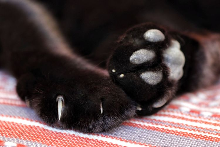 Animal Paws Animal Themes Black Cat Black Cat Paws Black Cat Photography Black Cats Cat Paw Cat Paws Close-up Domestic Animals Domestic Cat Domestic Cats Lying Down Mammal One Animal Paw Pad Paw Pads Paws Paws And Purrs Paws Close Up Paws Of A Cat Pets