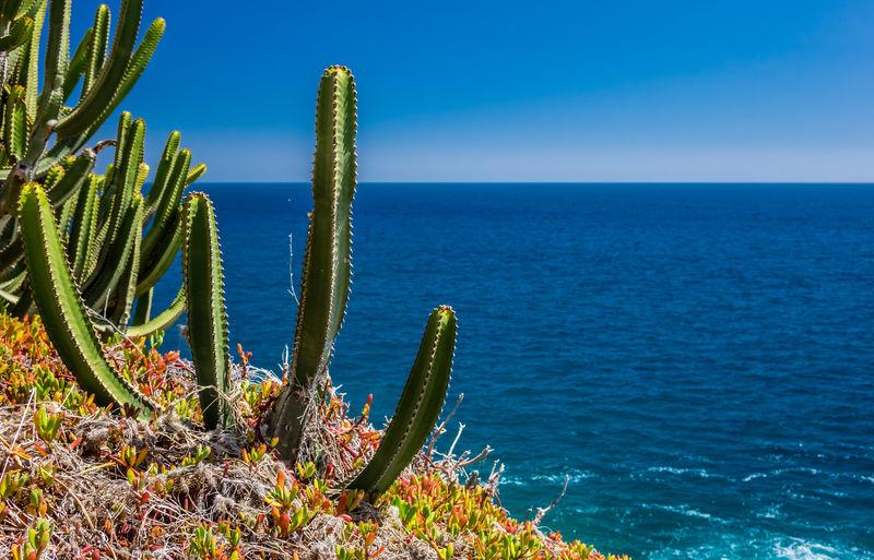 Cactus by sea against clear blue sky