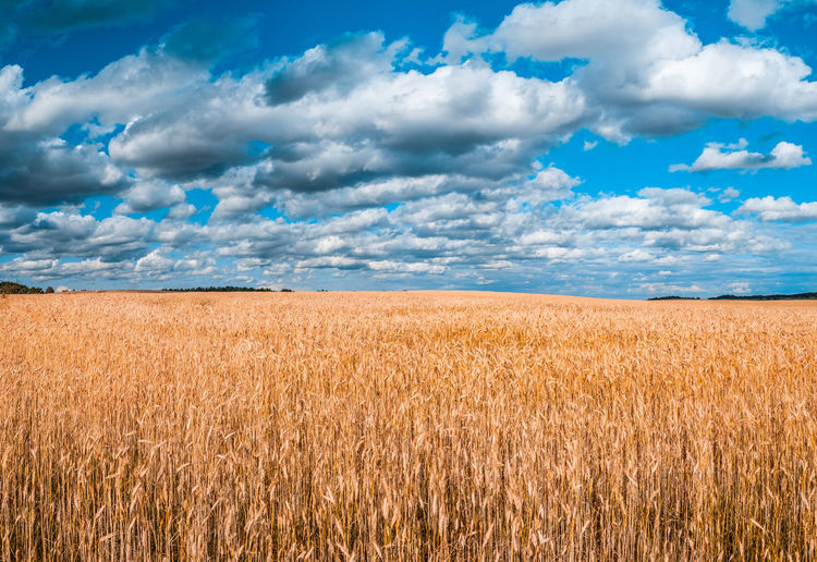 Tranquil landscape of vivid yellow wheat field under cloudy sky