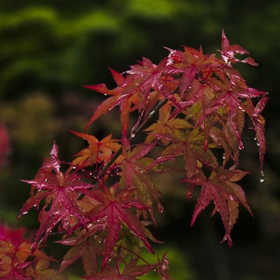 A close up of some red leaves in Nara, Japan. It was a Zen Garden and those leaves had a really strong contrast with the remaining summer-green plants. Japan Nara Nara -shi Leaves Red Autumn Closeup Panasonic  Lumix GH2 Lumixgh2 奈良 奈良市 Tree Leaf Nature