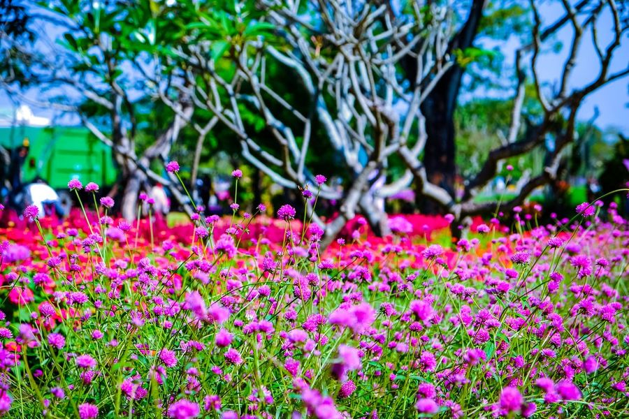 Flower Growth Nature Focus On Foreground Plant Beauty In Nature Outdoors Fragility Flowerbed Flower Head Close-up Petunia Day Freshness Pink Color Petal Blooming No People Leaf