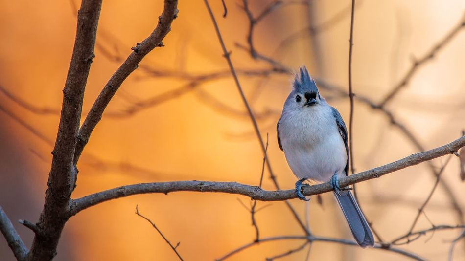 Titmouse Tufted Bird One Animal Perching Animal Themes Focus On Foreground Branch Animal Wildlife Animals In The Wild No People Bare Tree Nature Day Outdoors Tree Beauty In Nature Close-up