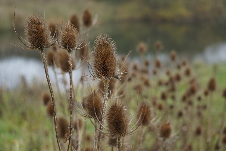 Close-up of dried thistle flowers on field