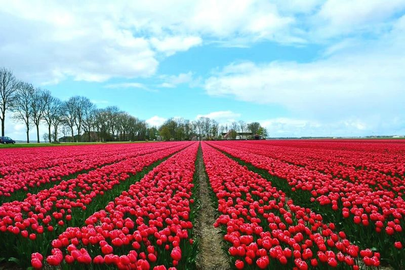 Tulip Festival Tulips Flowers Tulip Fields Dark Pink Check This Out Hello World Hanging Out Enjoying Life Remote No People Great Atmosphere Beauty In Nature Countryside Dutch Landscape Nature Photography Fieldscape Outdoor Photography Outdoors