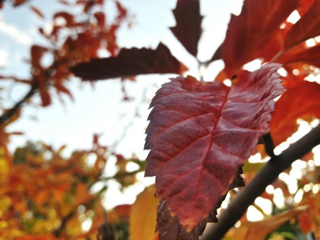 Autumn Leaf Tree Branch No People Outdoors Day Close-up Nature Beauty In Nature Plant Growth Sky Fragility Freshness