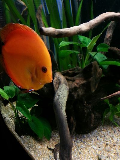 Discus Discus Fish Acquarium Fish