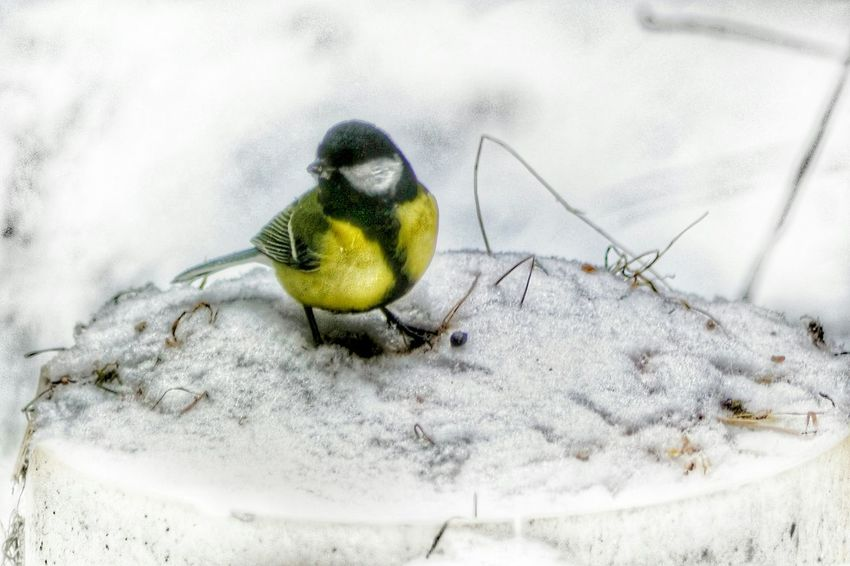 Animal Themes Animals In The Wild One Animal Animal Wildlife Bird Nature No People Outdoors Day Perching Close-up Beauty In Nature GreatTit Snow Snow ❄ Winter Nature At Your Doorstep EyeEm Nature Lover Cold Temperature Nature