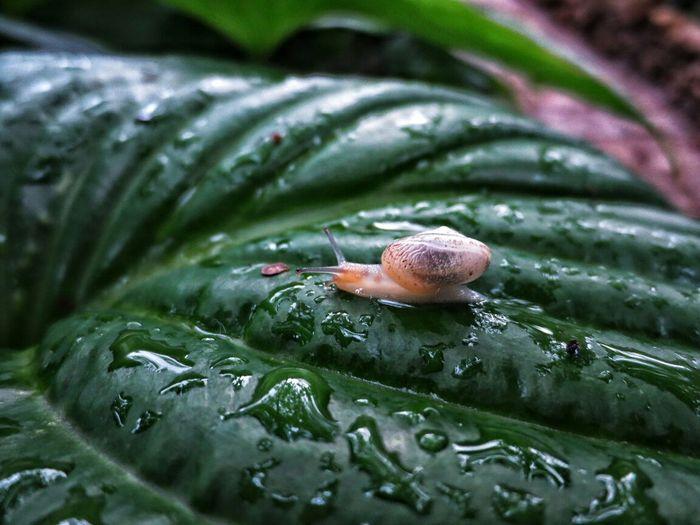 Snail crawling on wet leaf