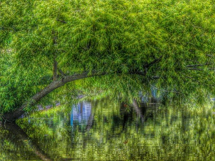 Drapped in greenery. Water Reflections Tree Nature Landscape
