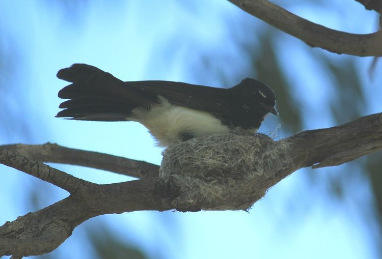 Tree Day Outdoors Nature One Animal WillyWagTail Nesting Birds South Australia