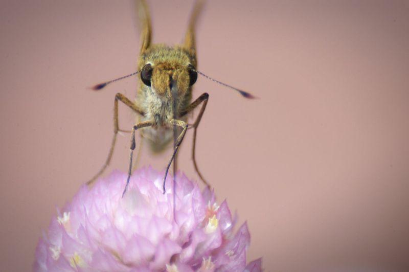 相変わらず可愛いイチモンジセセリちゃん♪ Nature Butterfly イチモンジセセリ Flower Color Palette Dramatic Angles Skipper