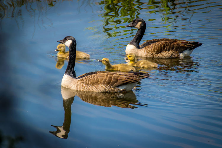 Animal Family Animal Themes Animal Wildlife Animals In The Wild Bird Day EyeEm Best Shots EyeEm Nature Lover EyeEmNewHere Goose Gosling Kanadagänse Lake Nature No People Outdoors Swimming Togetherness Water Waterbirds Waterfront Young Animal The Great Outdoors - 2017 EyeEm Awards