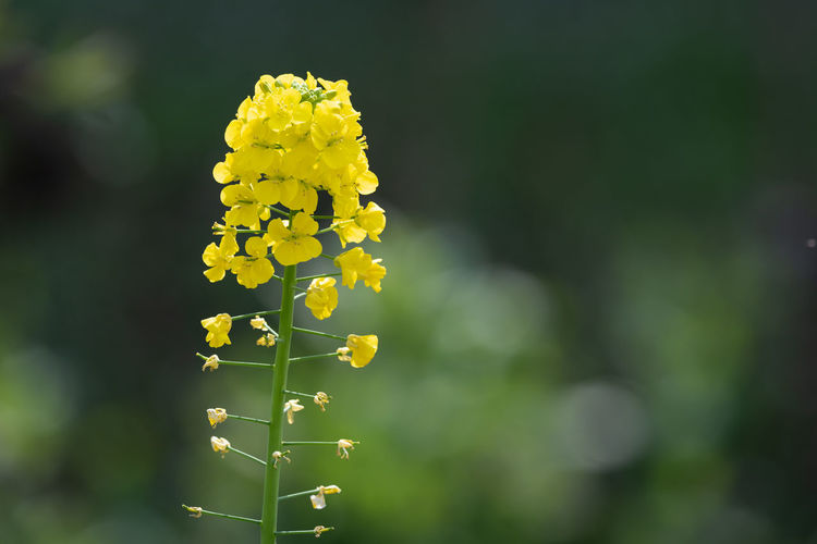 canola flowers in spring Flower Beauty In Nature Flowering Plant Yellow Growth Plant Vulnerability  Fragility Freshness Close-up Nature Focus On Foreground Day Field No People Outdoors Flower Head Land Inflorescence Plant Stem Springtime Softness Cole Flowers Yellow Flower Canola Flowers Spring