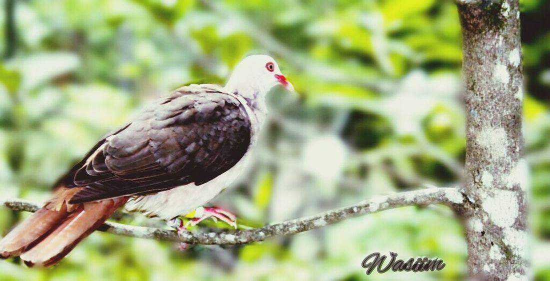 Pink Pigeon Mauritius Island  Black River Gorges Bird Nature